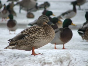 Oregon ducks in snow